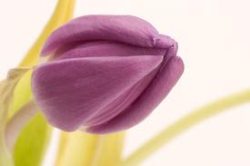 einzelne tulip