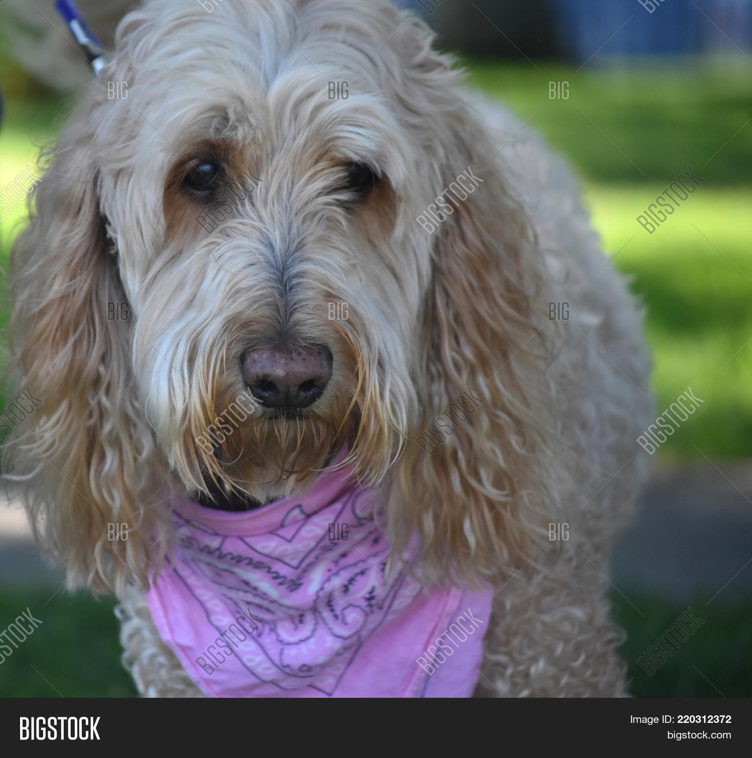 Goldendoodle Cross Image Photo Free Trial Bigstock