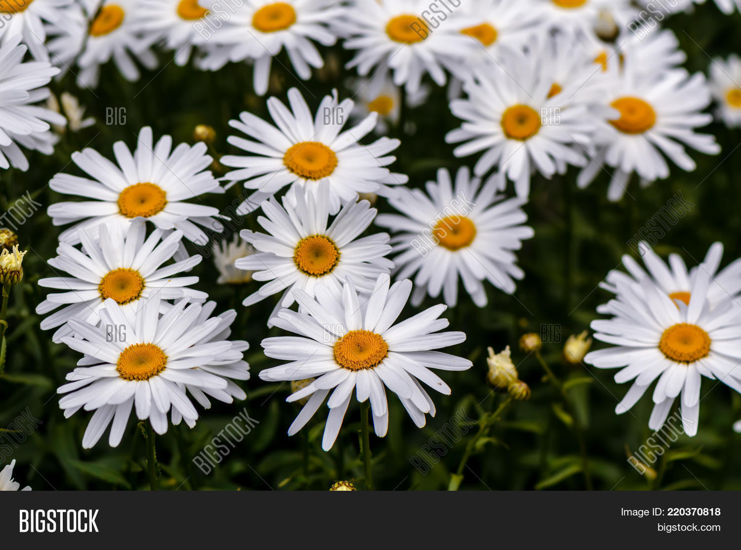 Chamomile flowers long image photo free trial bigstock chamomile flowers with long white petals and a yellow center in the center on the green mightylinksfo