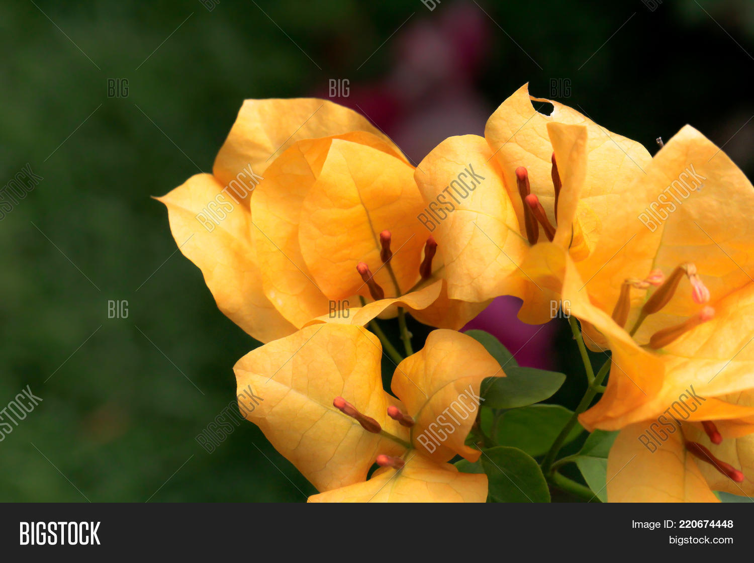 Close yellow image photo free trial bigstock close up of yellow bougainvillea flower on green background it is a sturdy perennial with mightylinksfo