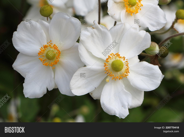 Flowers White Japanese Anemone Image Photo Bigstock