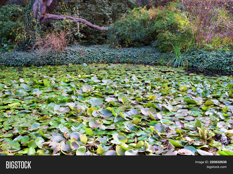 Pond Lily Pads Lotus Image Photo Free Trial Bigstock