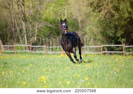 quarter horse gallop powerful free in meadow