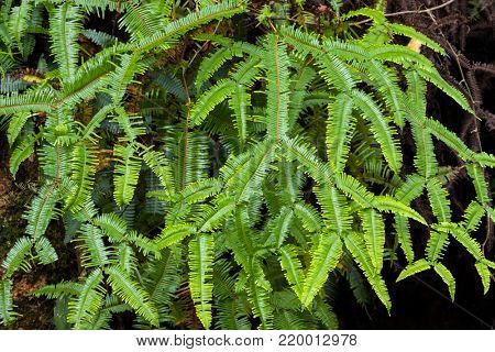 Green Pitchfork fern, old world forked fern growing in forest at fraser's hill, Malaysia, Asia