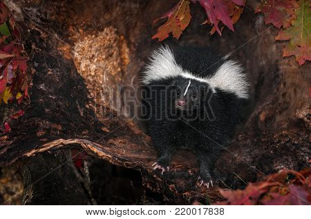 Striped Skunk (Mephitis mephitis) Peers Out from Log - captive animal