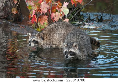 Two Raccoons (Procyon lotor) Stretch Out in Water - captive animals