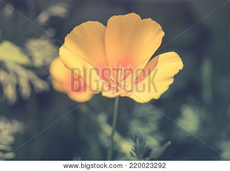 Discoloured yellow poppy with defocused depth and blur