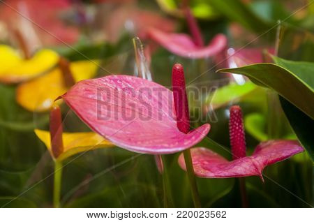 Anthurium Picasso is a genus of about 1000 species of flowering plants, the largest genus of the arum family, Araceae.General common names include anthurium, tailflower, flamingo flower and laceleaf.