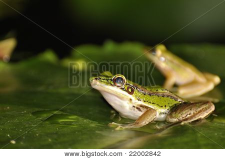 Two Green Paddy Frogs On Waterlily Leaf