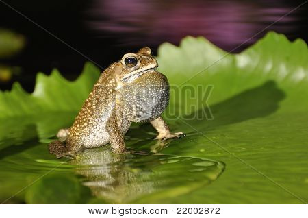 Black Spined Toad Singing With A Purple Waterlily Reflection