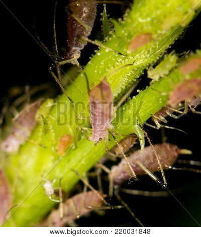 aphids on the plant. close . In the park in nature