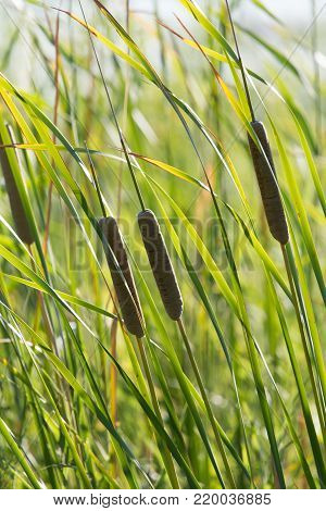 bulrush in nature as a background . In the park in nature