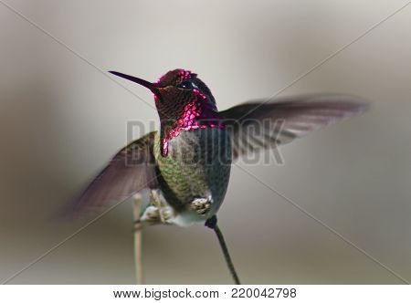 Ruby throated hummingbird with cute face spreads wings to fly.