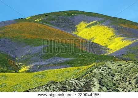 Spring wildflowers super bloom on the Carrizo Plains National Monument, California.