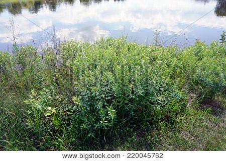 Dogbane (Apocynum cannabinum), also called amy root, hemp dogbane, prairie dogbane, Indian hemp, rheumatism root, or wild cotton, blooms next to a small lake in Joliet, Illinois during July.