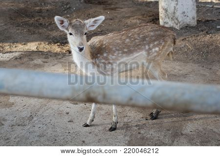 young female deer standing in grass of Australia zoo, Wild life protected by legalization, Mammal backgrounds, four legs animal wallpaper