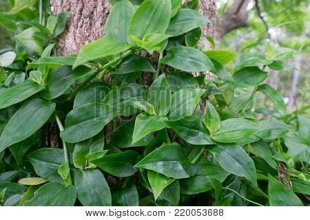 Tradescantia fluminensis - known as Wandering Jew or Wandering Willy, plant is an invasive weed in New Zealand, NZ but an ornamental garden plant elsewhere. Green plant vegetation growing up tree.