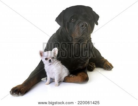 puppy chihuahua and rottweiler in front of white background