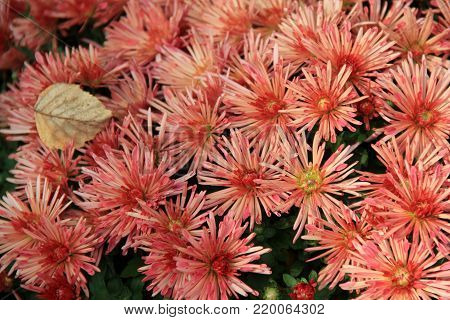 Horizontal image of beautiful pink hardy mums in landscaped  garden.