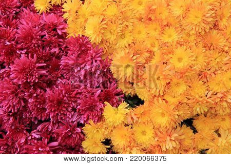 Gorgeous image of pink and yellow hardy mums in garden.