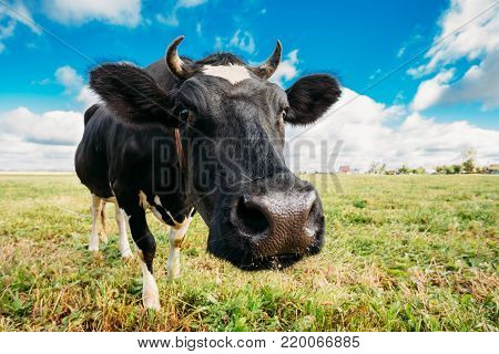 Funny Portrait Of Black Cow In Meadow Or Field With Green Grass. Wide-angle Lens.