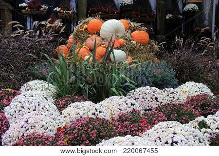 Beautiful Autumn image of pumpkins and squash tucked between colorful hardy mums and ornamental grasses.