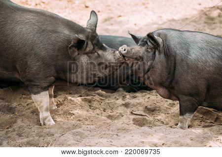Two Household Pigs Enjoys Kissing Each Other In Farm Yard. Large Black Pig Resting In Sand. Pig Farming Is Raising And Breeding Of Domestic Pigs.