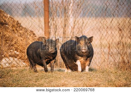 Two Household Black Pigs In Farm Yard. Pig Farming Is Raising And Breeding Of Domestic Pigs. It Is A Branch Of Animal Husbandry. Pigs Are Raised Principally As Food