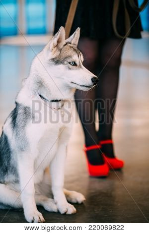 Young White And Gray Husky Eskimo Dog At Feet Of Mistress