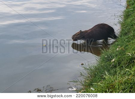 The capybara Hydrochoerus hydrochaeris is the largest living rodent in the world. Also called chig ire and carpincho, it is a member of the genus Hydrochoerus, of which the only other extant member is the lesser capybara Hydrochoerus isthmius