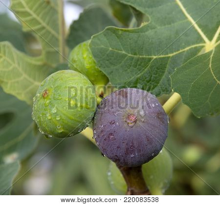 Green and violet figs after rain. Close-up. Fruits growth on the tree.
