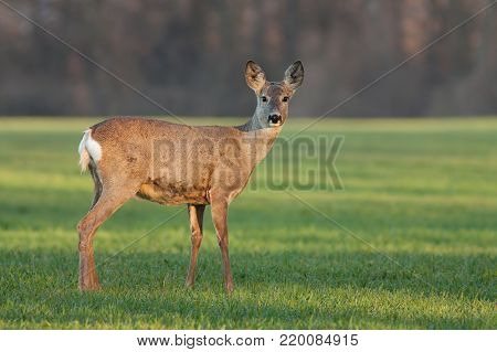 Roe deer doe at sunrise in the spring. Wild animal early in the morning at dawn in first sunrays. Fresh morning in nature. Wildlife scenery with soft orange light.