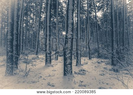 Old vintage photo. Tree pine spruce in magic forest winter with falling snow. Snow forest. Christmas Winter New Year background trembling scenery.