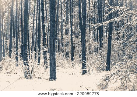 Old vintage photo. Tree pine spruce in magic forest winter with falling snow. Snow forest snowfall. Christmas Winter New Year background trembling scenery.