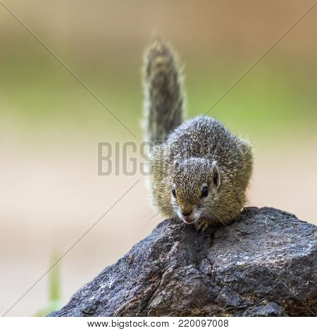 Smith bush squirrel in Kruger national park, South African;  Specie Paraxerus cepapi family of Sciuridae