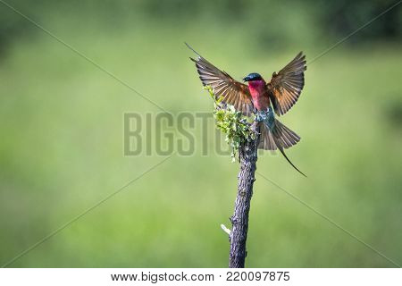 Southern carmine bee-eater in Kruger national park, South African; Specie Merops nubicoides family of Meropidae