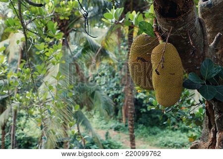 Big jackfruits on a tree in Indonesia Bali. Smelly and sweet tropical food
