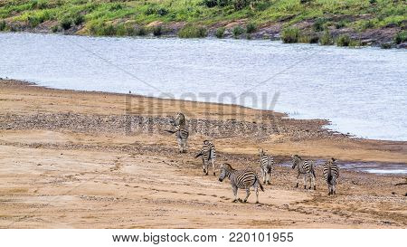 Plains zebra in Kruger national park, South African; Specie Equus quagga burchellii family of Equidae