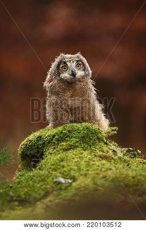 Bubo bengalensis. Autumn nature. Beautiful owl photo. poster