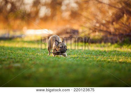 Adorable Devoted Purebred Rottweiler