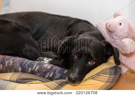Black dog in his bed with lucky pig as a cuddly toy