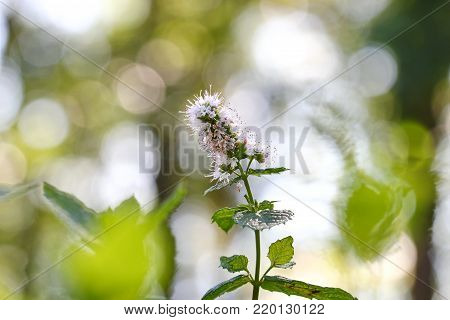 A flowering Mint plant with purple white flowers