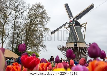 Amsterdam, Netherlands - April 21, 2017: Traditional Dutch windmills with vibrant tulips in the foreground, The Netherlands