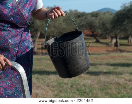 Olive Harvest Season Begins