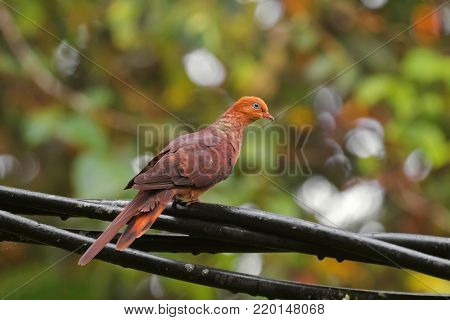 Male Little cuckoo dove bird, reddish brown pigeon perching on cable at Fraser's Hill, Malaysia, South east Asia (Macropygia ruficeps)