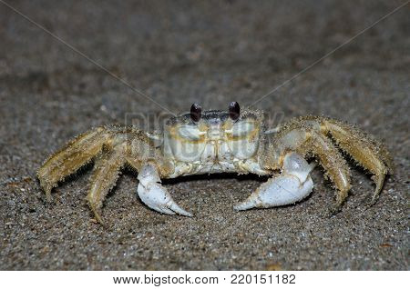 Ghost crabs on a OBX beach at night