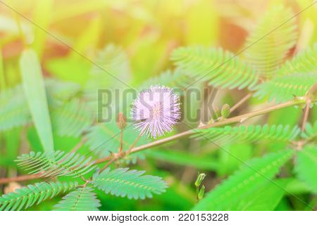 mimosa pudica or sensitive plant flower pink beautiful on grass in nature