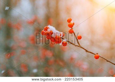 Winter mountain ash under snow on a branch ashberry under the snow
