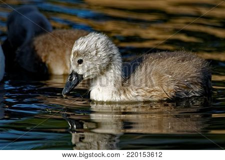 A Mute Swan Cygnet floats on the water. The Mute Swan is considered an invasive species in North America.