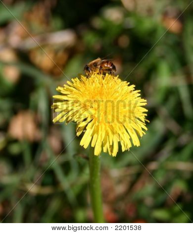 Bee On Top Dandelion